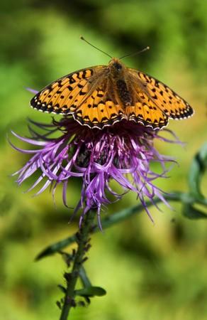 Orange butterfly on purple thistle photo