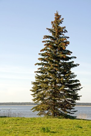picea: A spruce tree (Picea abies) standing on the banks of a lake or river