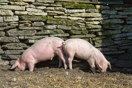 omnivores: Two young piglets eating on farm Stock Photo