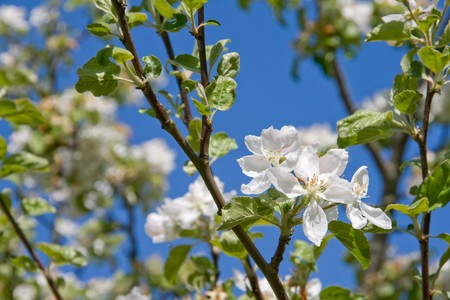 Apple tree blossoms and blue sky Stock Photo - 7435954