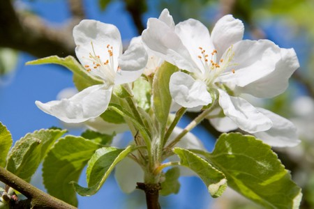 Apple tree blossoms and blue sky Stock Photo - 7435897