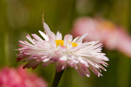 Pink daisy (Bellis perennis) on the meadow Stock Photo - 7435860