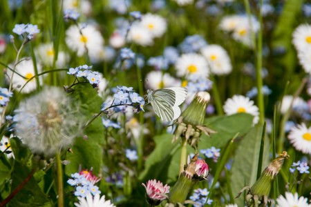 Field Forget-me-nots (Myosotis arvensis) and Daisies (Bellis perennis) with lonely butterfly photo