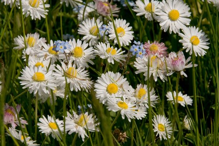 Field Forget-me-nots (Myosotis arvensis) and Daisies (Bellis perennis) photo