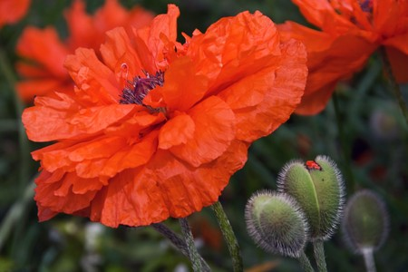 Red poppies blooming on the field Stock Photo - 7435891