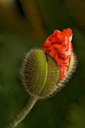 Green bud of a poppy flower with young red crinkled petals photo