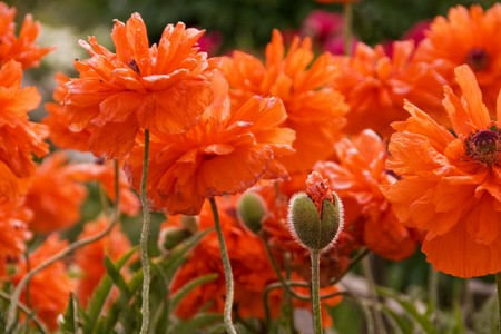 Field of red poppy flowers Stock Photo - 7435936