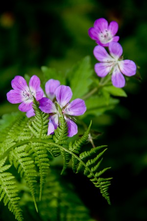 A fern and purple flowers. The flowers are Meadow Crane's Bill or Cranesbill Stock Photo - 7435864