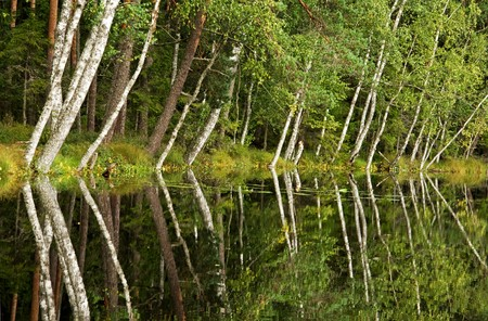 Birches reflections on the forest lake Stock Photo - 7436208