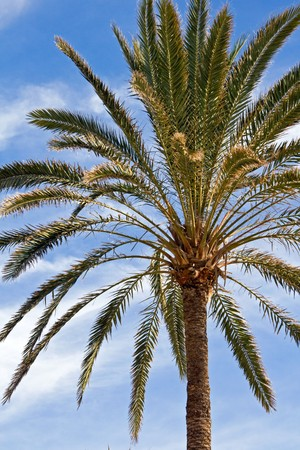 View looking upward at Canary Island date palm Stock Photo - 7436187