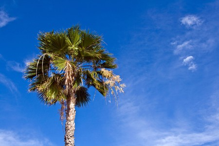 View looking upward at Canary Island date palm Stock Photo - 7436013