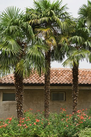 Three palm trees in front of historical house Stock Photo - 7436214