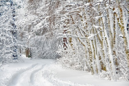 covered fields: Wintry road through birch forest cowered with snow