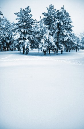 Wintry pine trees covered with snow photo