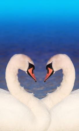 affectionate action: Collage de fotos de dos cisnes blancos frente a otra cuellos formando una forma de coraz�n