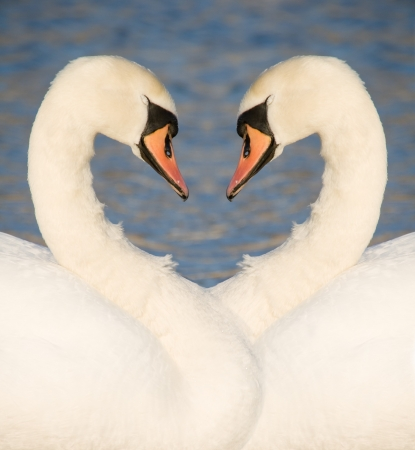 Photo collage of two white swans facing each other necks forming a heart shape photo