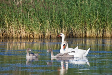 Swan family, parents with babies on the lake photo