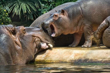 A view of a large hippopotamus with a baby hippo nearby. Species: Hippopotamus amphibius Stock Photo - 8130416