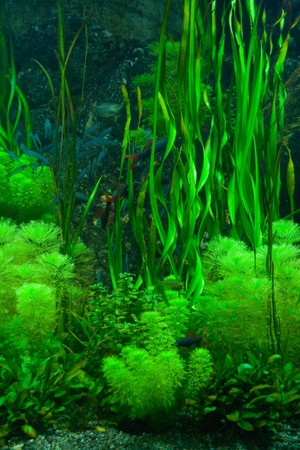 fishtank: Background of the green aquarium seaweed underwater Stock Photo