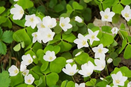 acetosella: El-acedera (Oxalis acetosella) blooming