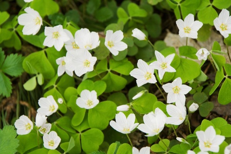 The wood-sorrel (Oxalis acetosella) blooming Stock Photo - 8519955