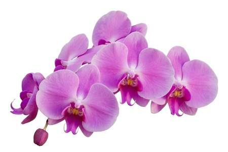 Pink orchid isolated on the white background Stock Photo