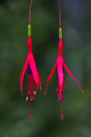 Two red flowers of Fuchsia magellanica hanging over the green background Stock Photo - 10997661
