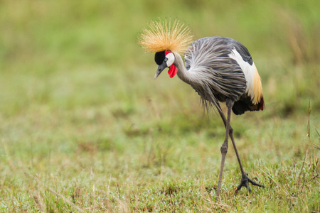 crowned crane: A crowned crane