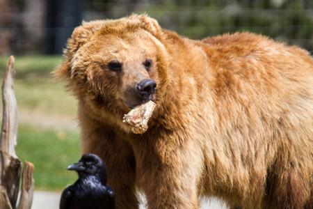 Grizzly Bear that is having fun 版權商用圖片