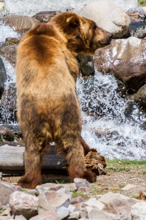 Grizzly Bear that is having fun Standard-Bild