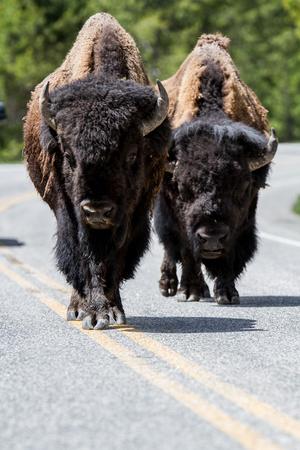 American Buffalos in Yellowstone National Park Archivio Fotografico