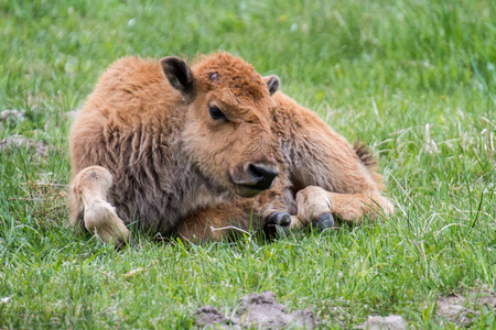 Baby American Buffalo in Yellowstone National Park