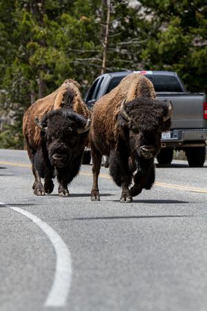 American Buffalos in Yellowstone National Park Standard-Bild
