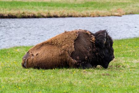 American Buffalo in Yellowstone National Park