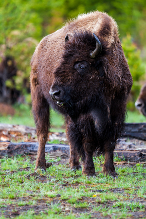 American Buffalo in Yellowstone National Park