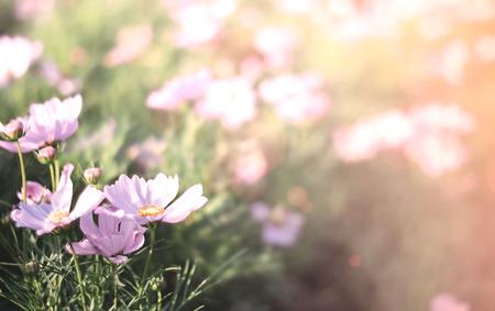Soft focused on purple flowers bloom on abstract blurred background soft focused on pink flowers bloom on abstract blurred background in a vast flower field mightylinksfo