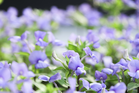 Soft focused on purple floral in garden.