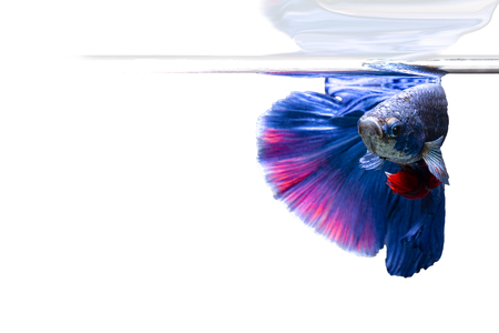 Betta splendens(Pla-Kad),Siamese fighting fish aquarium fish beatiful tail and move action  on white background Stockfoto