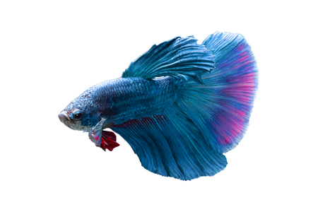 Betta splendens(Pla-Kad),Siamese fighting fish aquarium fish beatiful tail and move action isolated on black background Stockfoto