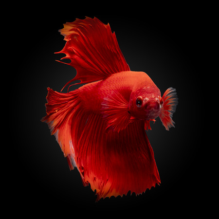 Red betta siamese fighting fish,Betta splendens(Pla-kad),Half moon rose tail Betta fighting fish isolated on black background with clipping path included