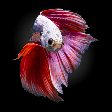 Betta splendens(Pla-Kad),Siamese fighting fish aquarium fish beatiful tail and move action isolated on white background with clipping path included