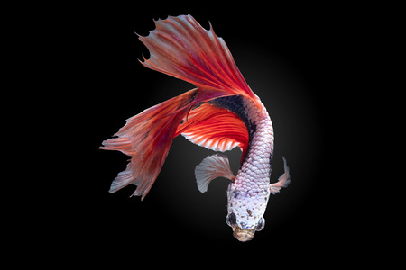 Betta splendens(Pla-Kad),Siamese fighting fish aquarium fish beatiful tail and move action isolated on black background   included