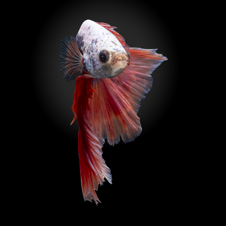 Betta splendens(Pla-Kad),Siamese fighting fish aquarium fish beatiful tail and move action isolated on black background with clipping path included