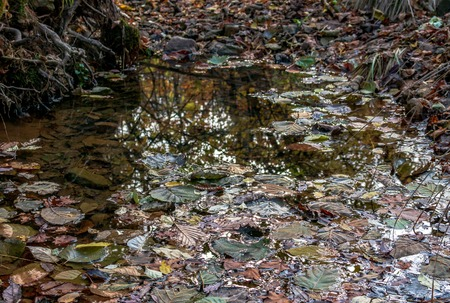 Fallen dry leaves of the autumn forest of the Russian Far East in a puddle after rain.