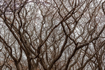 Background tightly twisted curves of the branches of trees in the winter forest on the background of a clear sky. For use as a texture. 免版税图像