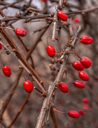 Red edible berries of the famous shrub of the European barberry on the prickly branches with thorns in the forest.