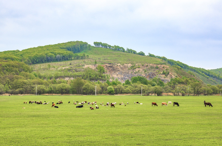 Cows graze and rest on a spring or summer meadow with fresh, bright green grass