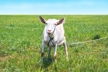 White horned goat tied to graze in the spring or summer meadow.