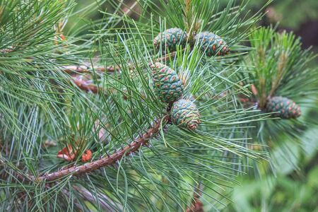 Young and green cones on pine branches Imagens