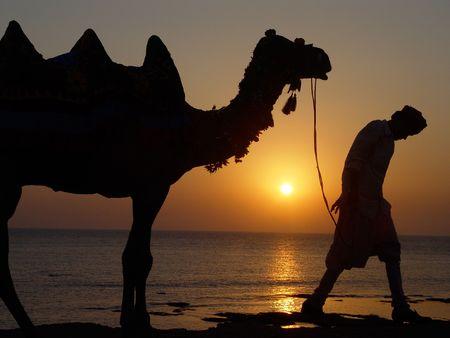 dromedaries: sunset behind a camel and his driver
